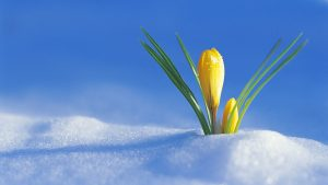 339714__flower-in-the-snow_p